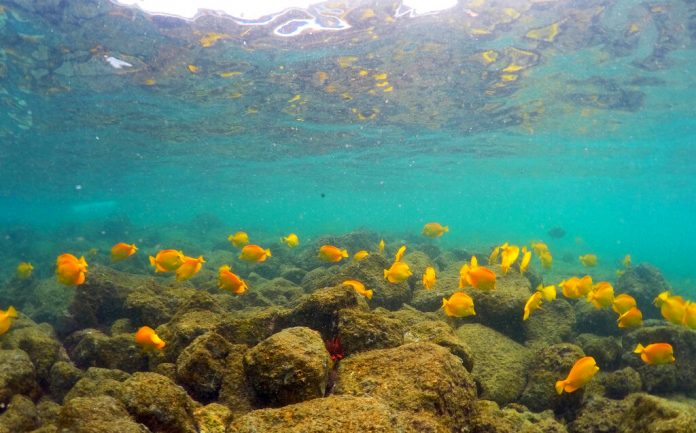 Lingering Pacific heat wave threatens Hawaii coral – OregonLive