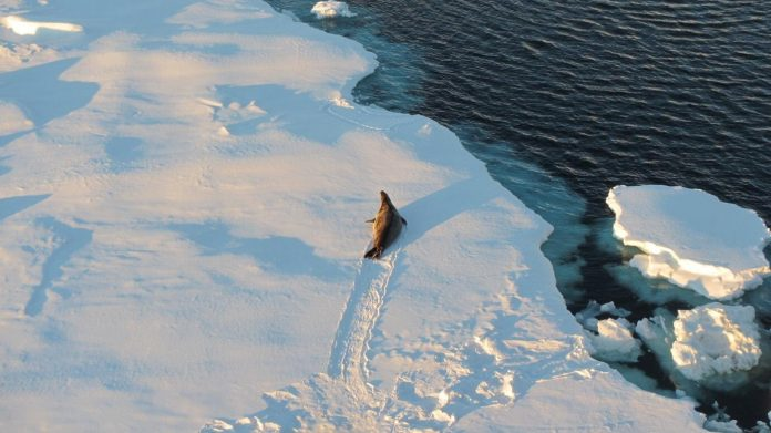 Antarctic sea ice is key to triggering ice ages, study finds – Phys.org