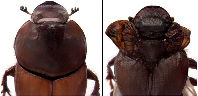 Dung beetle discovery revises biologists' understanding of how nature innovates – Phys.org