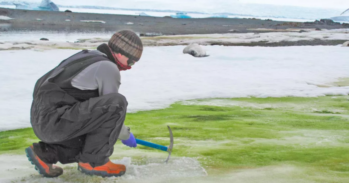 Climate change is causing Antarctica's snow to turn green, study says – CBS News