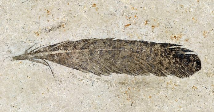First Fossil Feather Ever Found Belonged to This Dinosaur – The New York Times